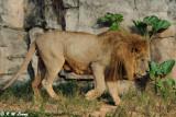 Lion DSC_3332