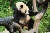 Panda DSC_3125