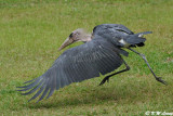 Marabou stork DSC_2857