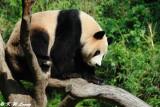 Panda DSC_3118