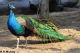 Peacock DSC_8293