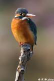 Common Kingfisher DSC_6422