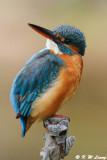 Common Kingfisher DSC_5988