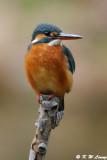 Common Kingfisher DSC_5767