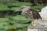 Chinese Pond Heron DSC_5807