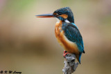 Common Kingfisher DSC_5856