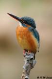 Common Kingfisher DSC_5815