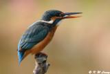 Common Kingfisher DSC_6185