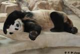Panda DSC_2774