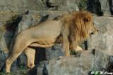 Lion DSC_3323