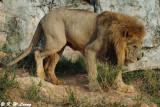 Lion DSC_3336