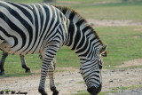 Zebra DSC_3358