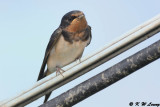 Barn Swallow DSC_7334
