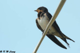 Barn Swallow DSC_7156