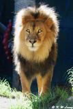 Lion (DSC_4892)
