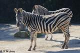 Zebra (DSC_3857)