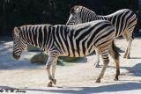 Zebra (DSC_3860)