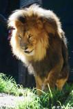 Lion (DSC_4890)
