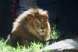 Lion (DSC_4885)