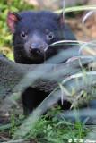 Tasmanian devil (DSC_5038)