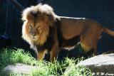 Lion (DSC_4894)
