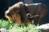 Lion (DSC_4881)