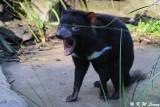 Tasmanian devil (DSC_5032)