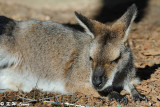 Kangaroo (DSC_5110)