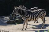 Zebra (DSC_3853)