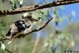 Laughing Kookaburra (DSC_3500)