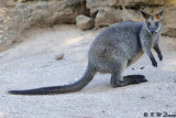 Kangaroo (DSC_5135)