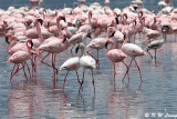 Flamingos (DSC_7953)