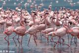 Flamingos (DSC_7970)