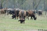 Buffalo (DSC_8035)