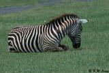 Zebra (DSC_8052)
