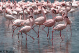 Flamingos (DSC_7955)