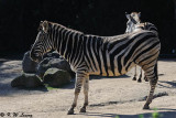 Zebra (DSC_3852)