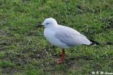 Gull (DSC_3616)