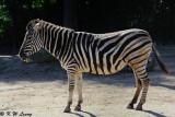 Zebra (DSC_3863)