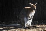 Kangaroo (DSC_5148)