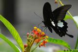 Papilio helenus DSC_0913