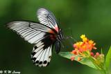 Papilio memnon (美鳳蝶)