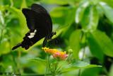 Papilio helenus DSC_1095