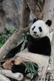 Panda DSC_8833