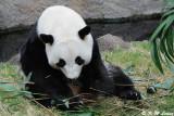 Panda DSC_8799