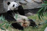 Panda DSC_8803