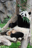 Panda DSC_8838