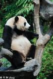 Panda DSC_3127