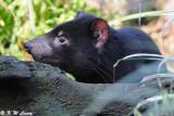 Tasmanian devil (DSC_5039)