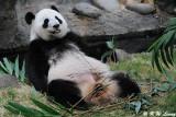 Panda DSC_8824